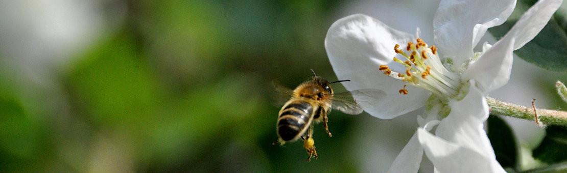 Renforcer la santé de l'abeille